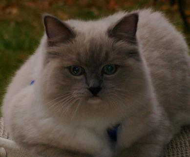 RAGDOLL KITTEN - KLAWS, CMR